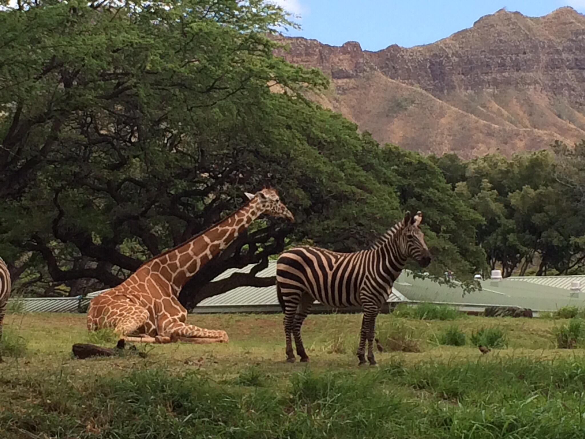 Giraffe and zebra at the Honolulu Zoo.