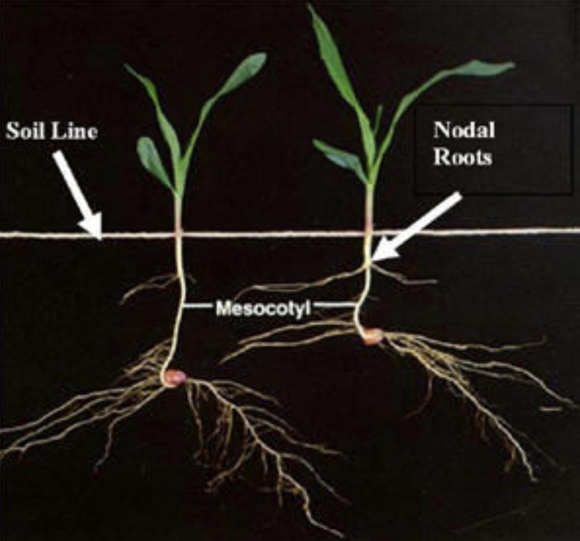 Nodel root depth - Pioneer.png