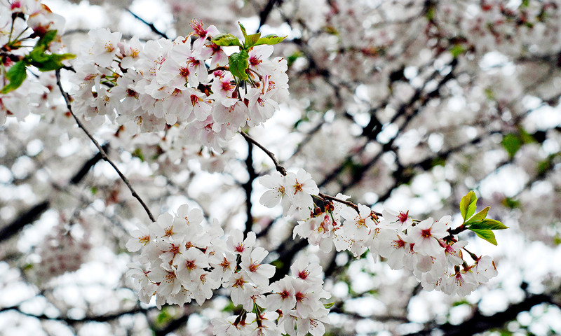 The Annual Atlanta Dogwood Festival signals spring is upon us at Piedmont Park.