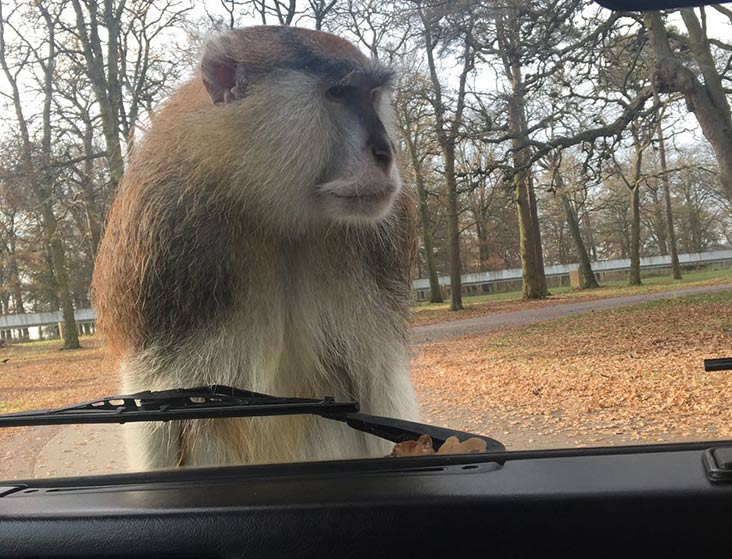 Monkey on car windscreen