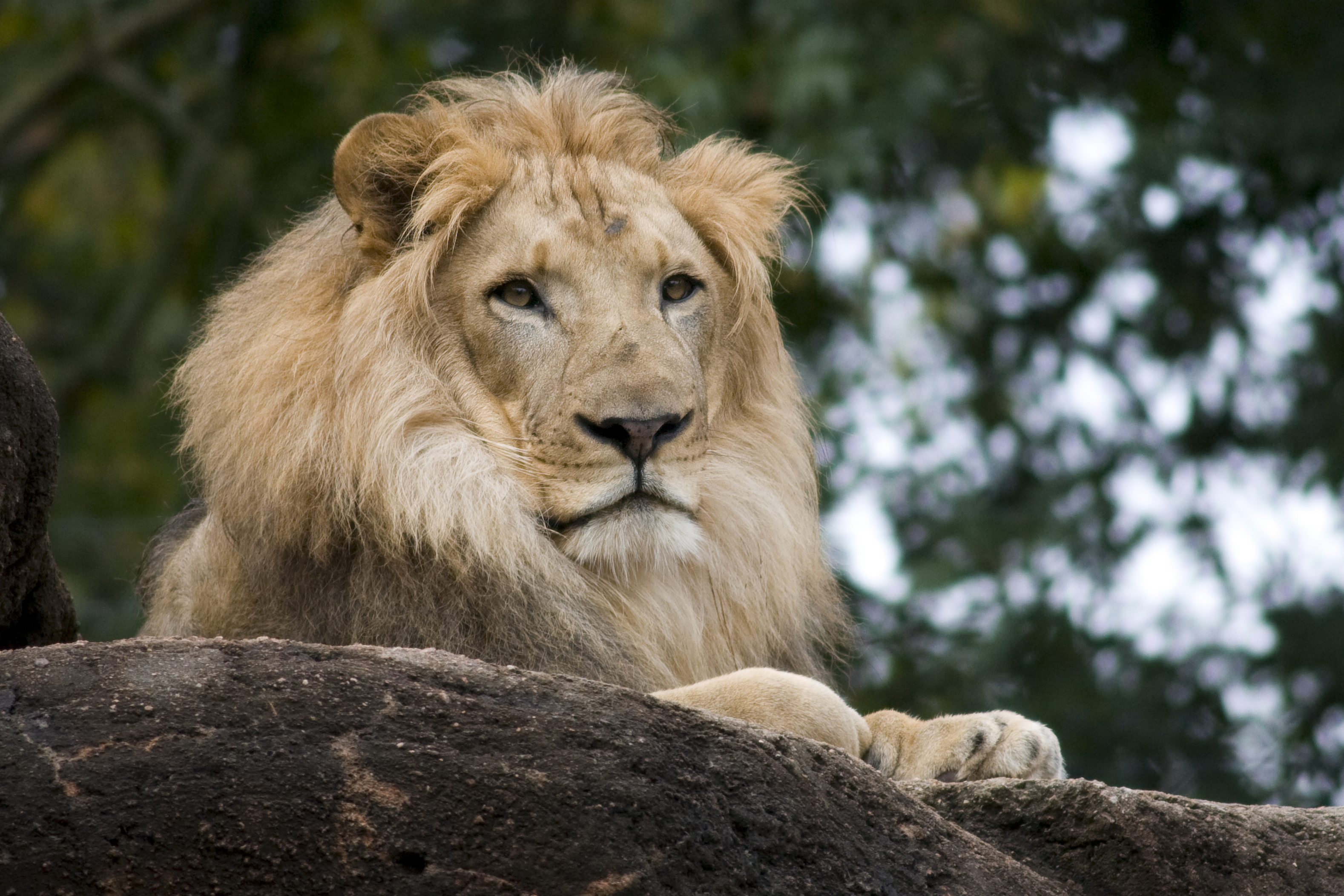 Atlanta-Zoo-Lion