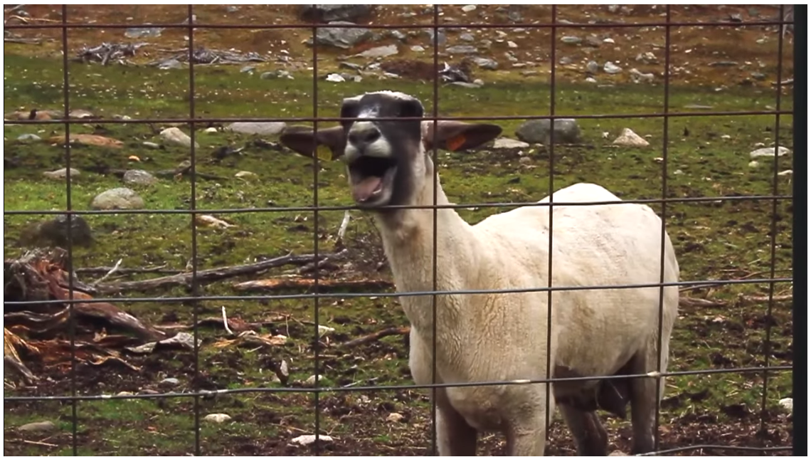 screaming goat.png